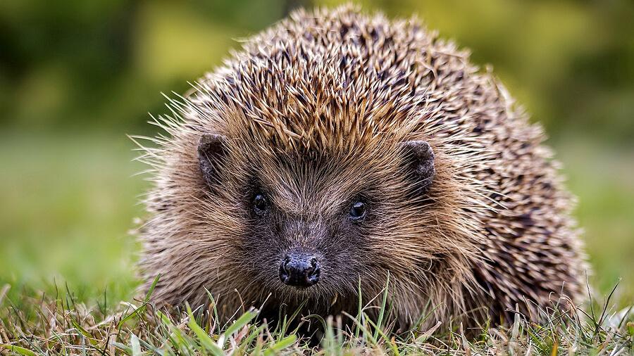 Hedgehog-in-winter