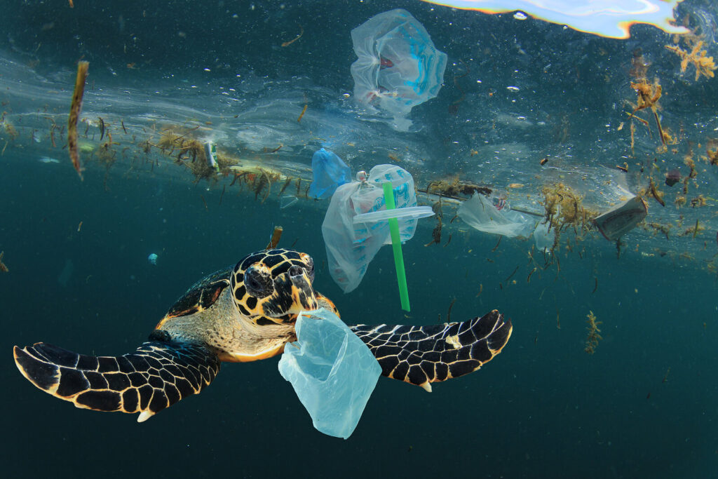 A turtle in the ocean getting caught in plastic pollution.