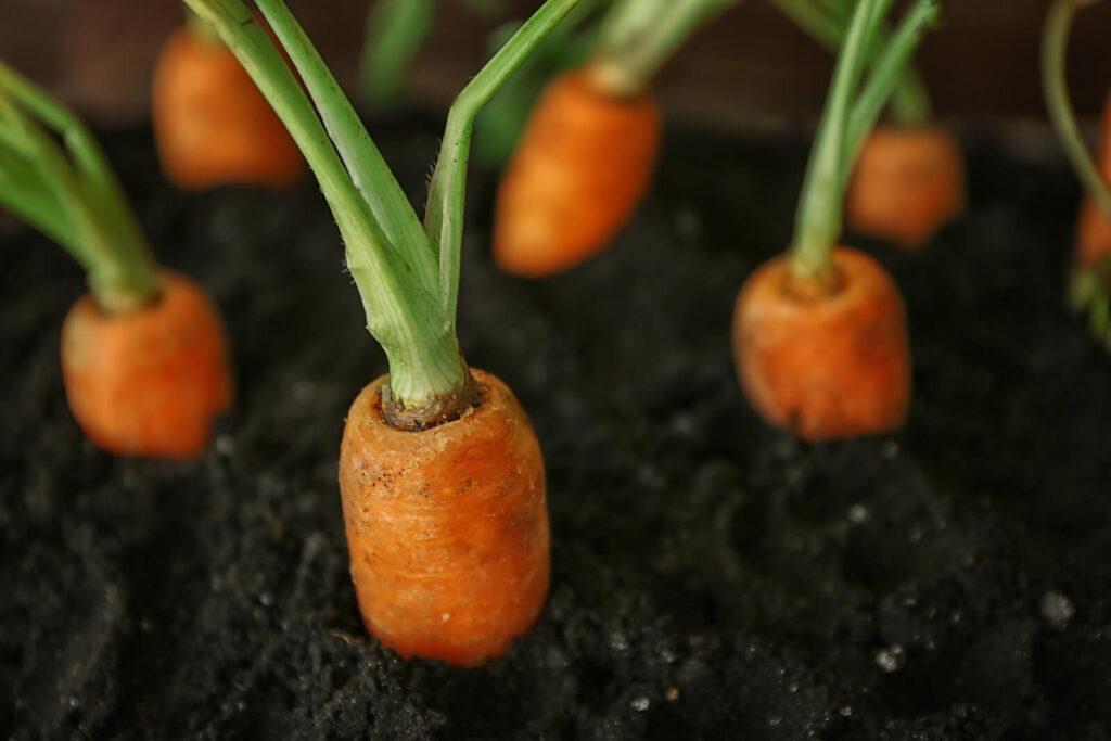 Carrots in soil.